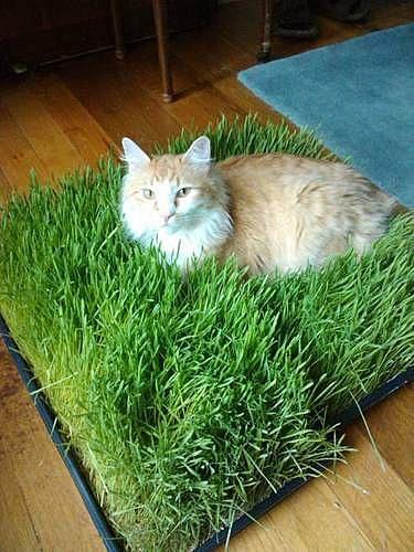 Лужайка для кота